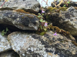 close up of tiny flowers growing on a mossy, rock wall in Trosly, France.