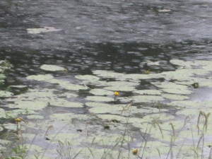 Photo of a heavy rain falling on waterlilies on lake at St. Johns